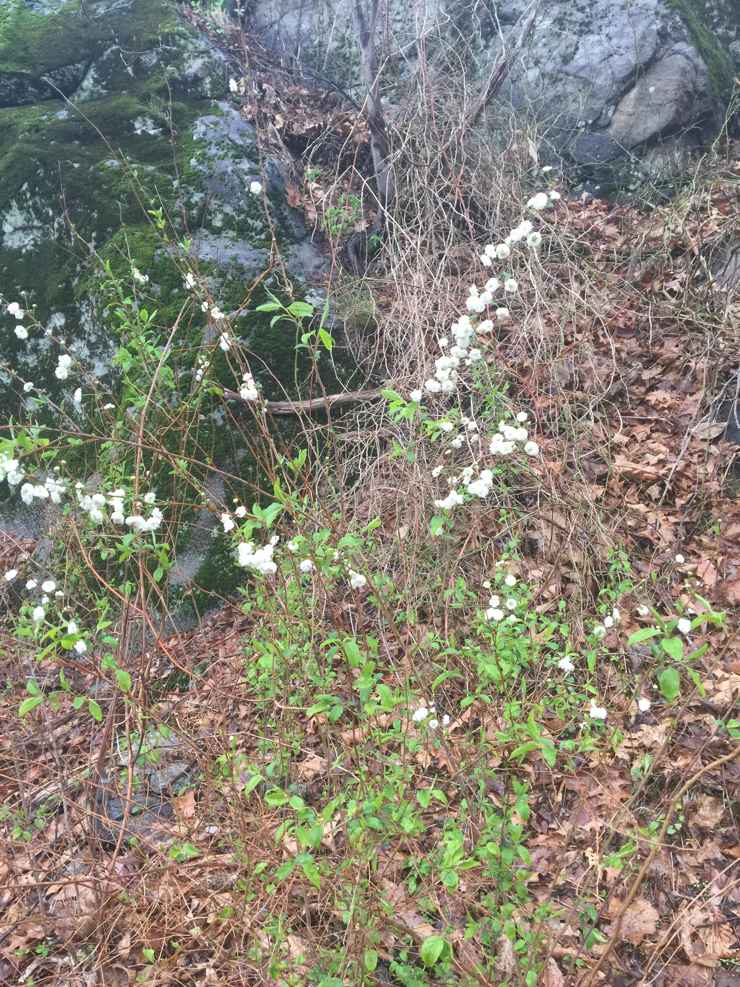 Spireae prunifolia