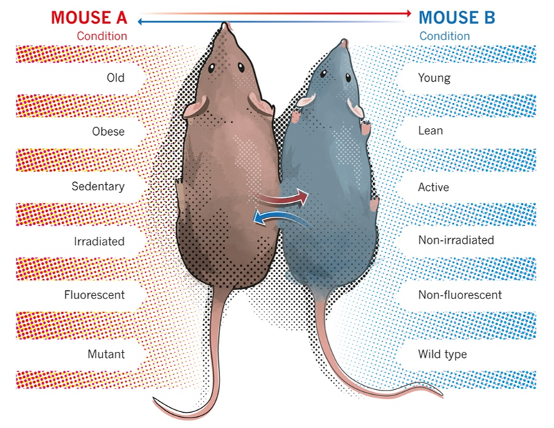 'Young Blood' Improves Health of Old Mouse (from  Scudellari, 2015, Nature )