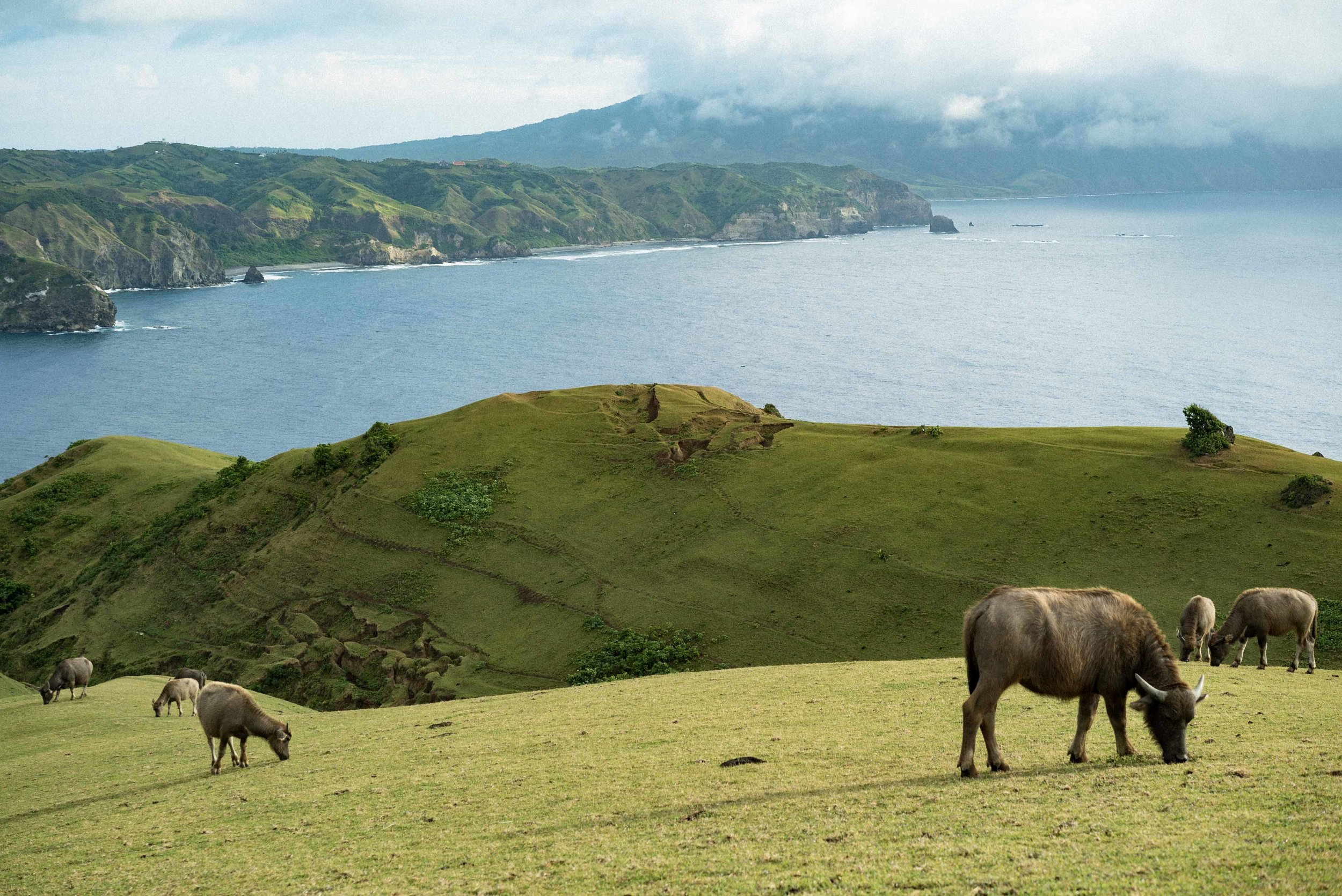 Water buffalos or  carabaos  graze freely on Marlboro Hills, Batanes.