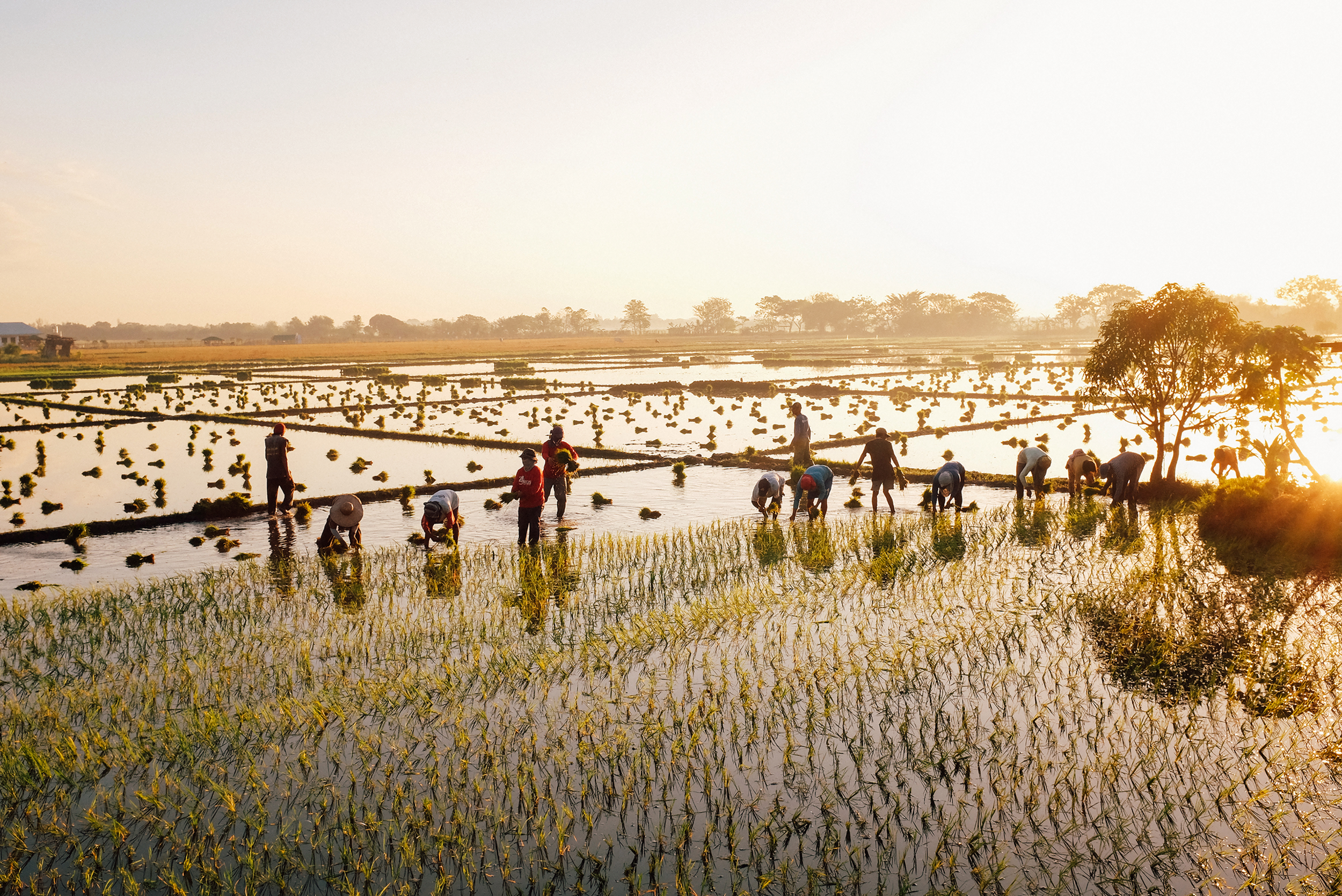 NUEVA ECIJA, PHILIPPINES —The beginning of the year marks the season for planting. Farmers plot the palay or unmilled rice against the rising sun.