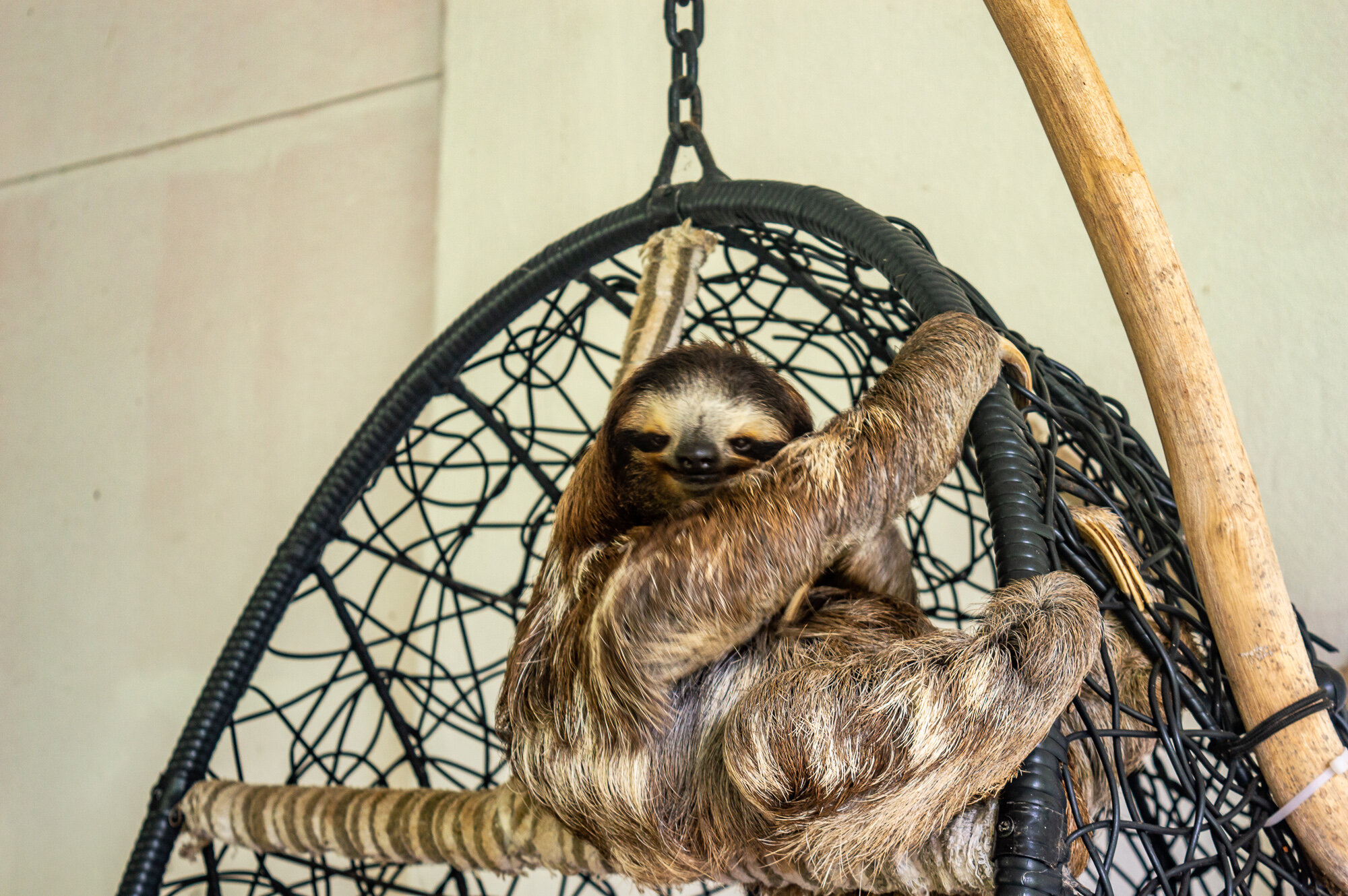Buttercup at the   Sloth Sanctuary