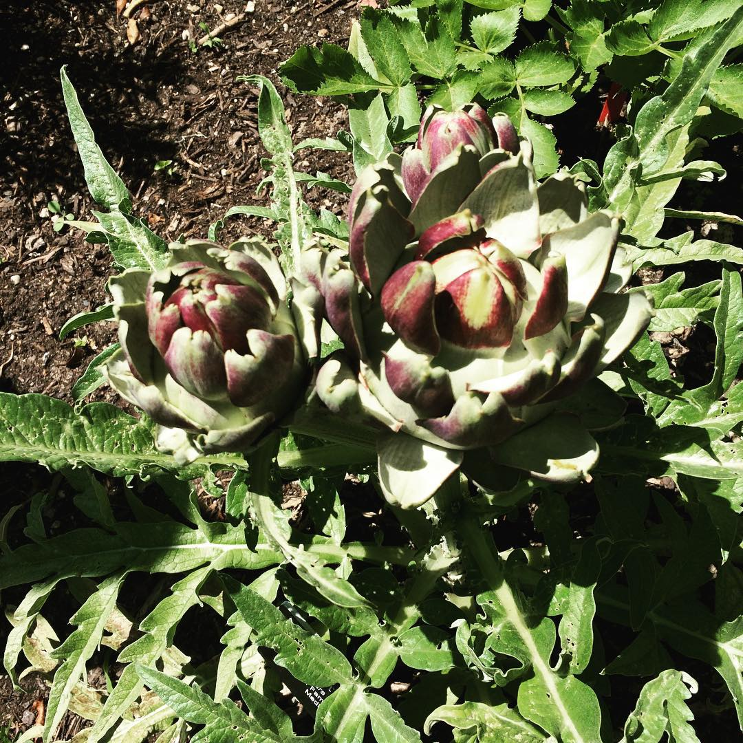 One day, I will a)have a garden, and b)have the energy to grow veggies like #artichokes! For now- I will just enjoy eating them :) Love the #BrooklynBotanicalGarden <3 #gardening #bushwicknutrition #lazynutrition #lazynutritionist