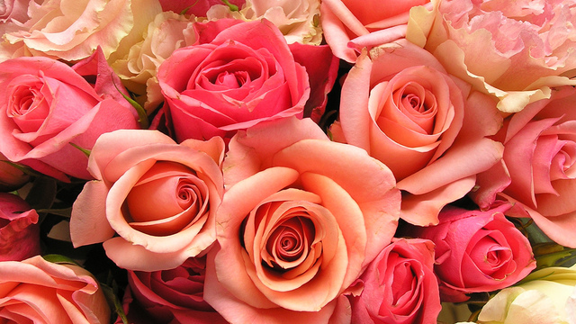 roses-flowers-valentines-day_1517879321399_340223_ver1-0_33247436_ver1-0_640_360.jpg