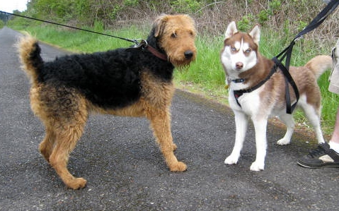 Airedale and friend. Photopraph: Lulu Hoeller