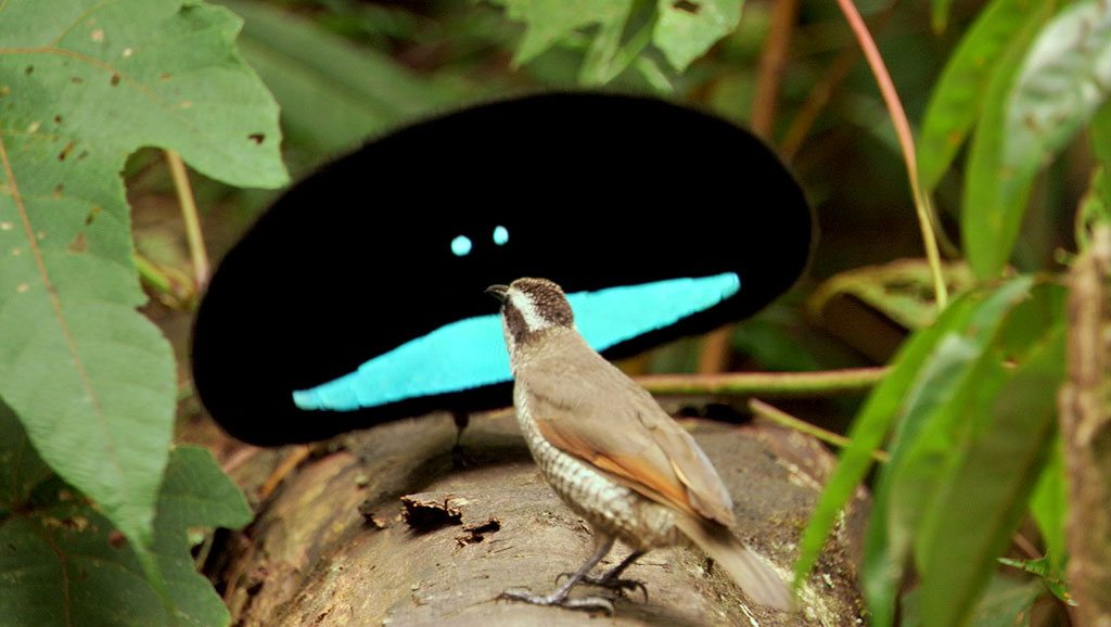 The dance of the bird of paradise as tries to woo a mate ... expression of the ultimate love song?