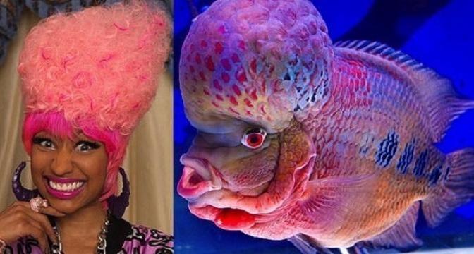 Flowerhorn fish (left), Nicki Minaj (right)