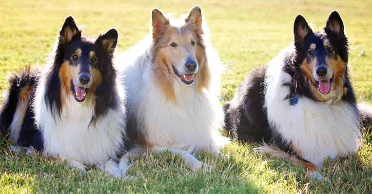 A gratuitous picture of smooth and rough-furred collies