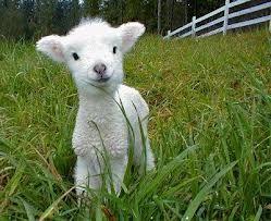 Lamb. Obviously.