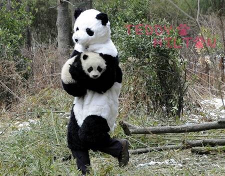 Baby panda being carried by surrogate parent in costume. Naturally.