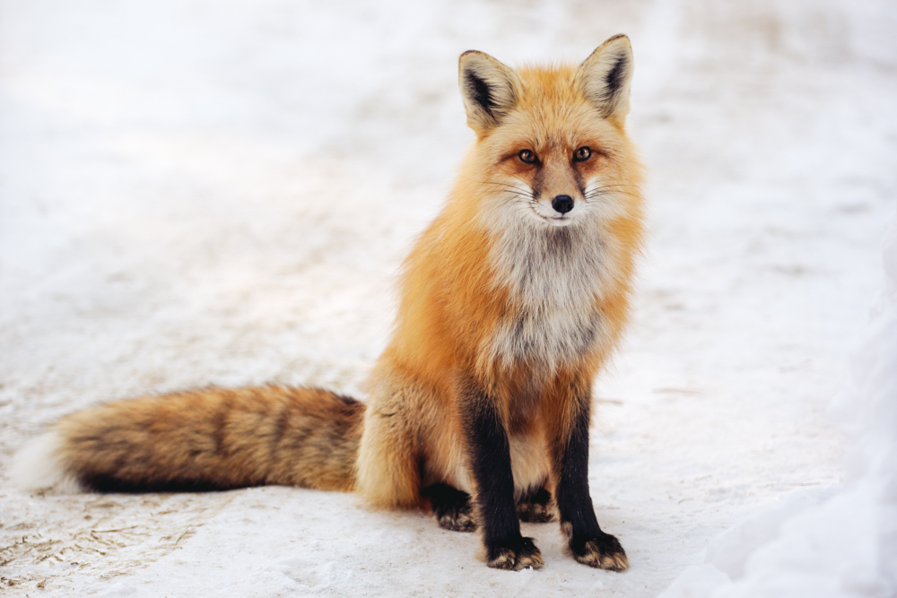 Don't let yourself go hungry, fox in the snow …