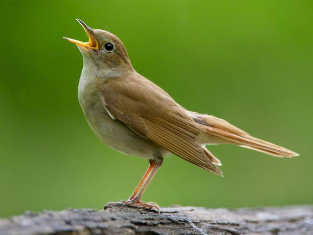 The nightingale. A star singer of the bird world.