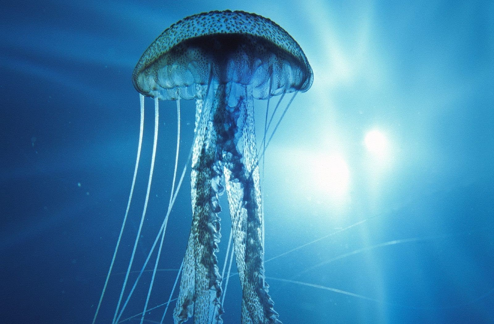 The Immortal Jellyfish,  Turritopsis dohrnii, which can reverse the life cycle process
