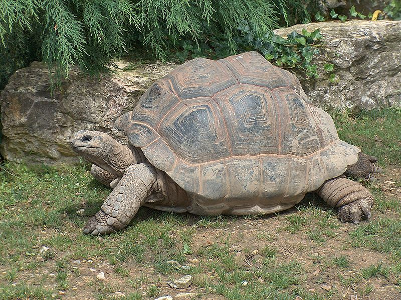 Long life purpose? Giant tortoise