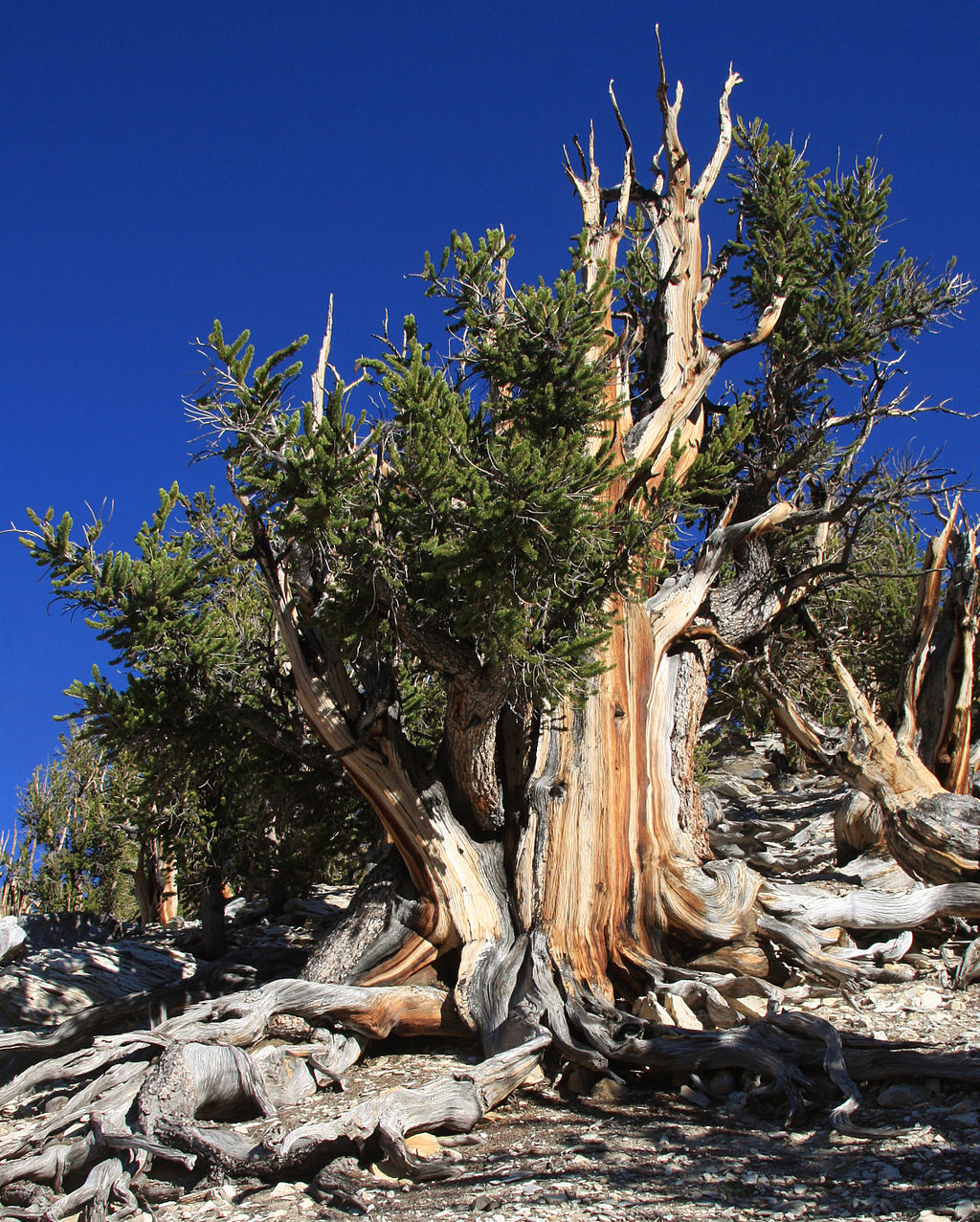 Great Basin bristlecone pine - aged 5067