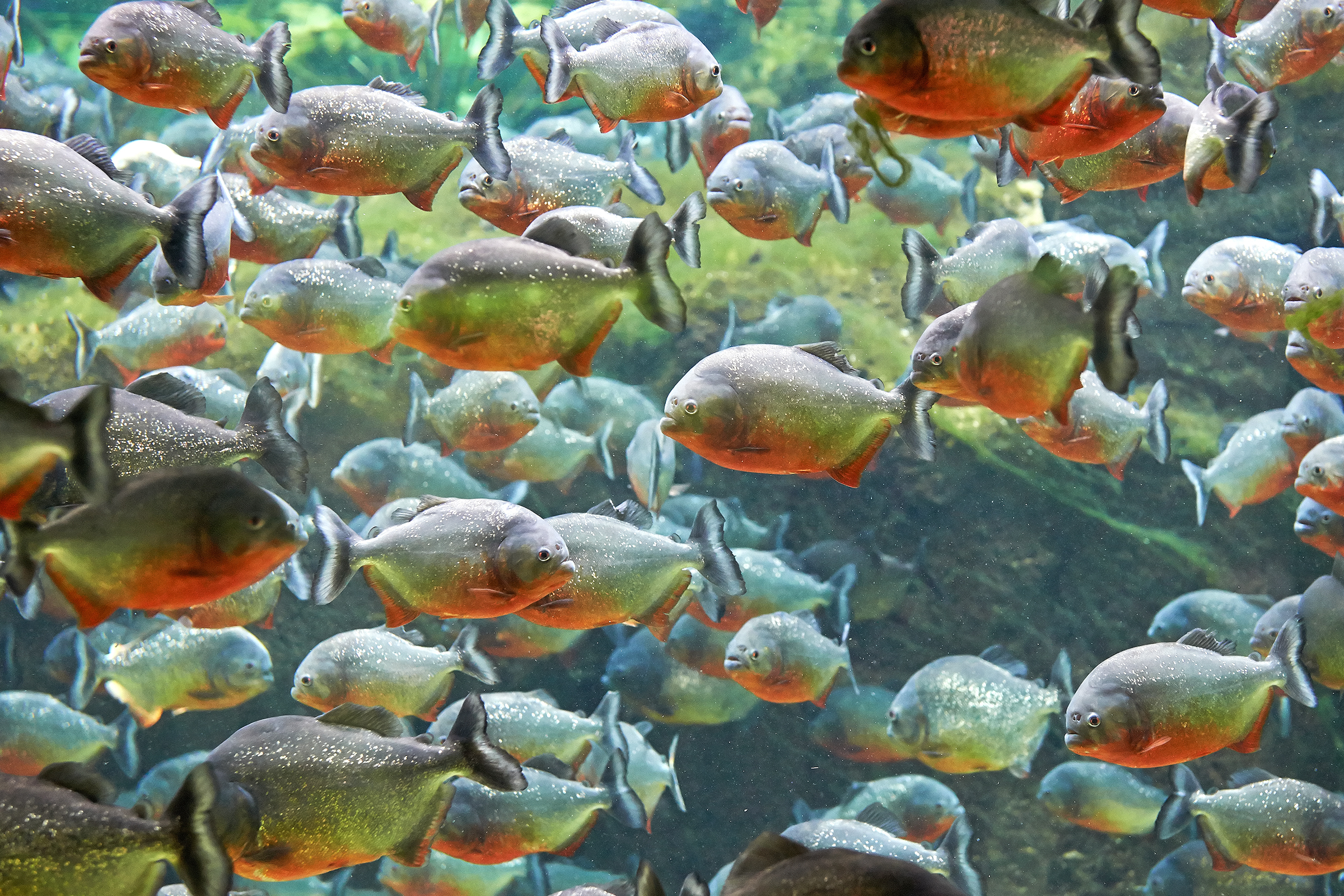 Red piranhas.Are they like the internet, gobbling up all cultural movements into small, bite-size chunks?