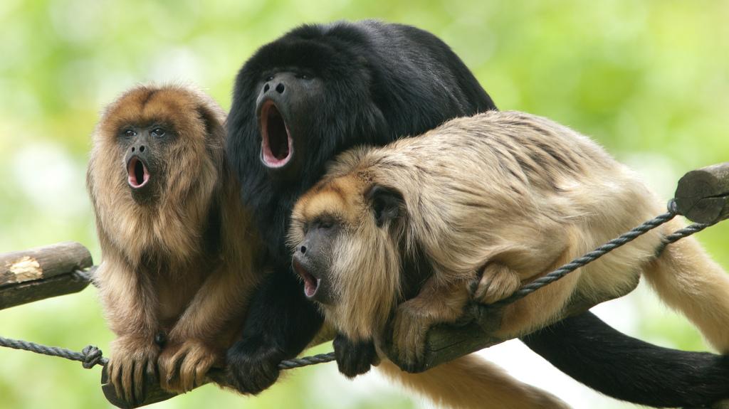 Find your range: howler monkeys