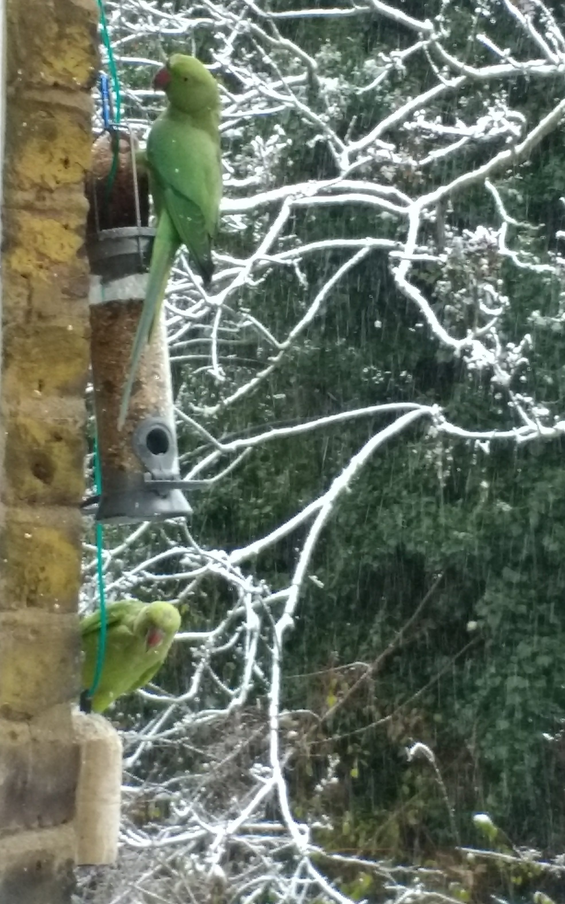 Wild parakeets at my window in London in wintertime