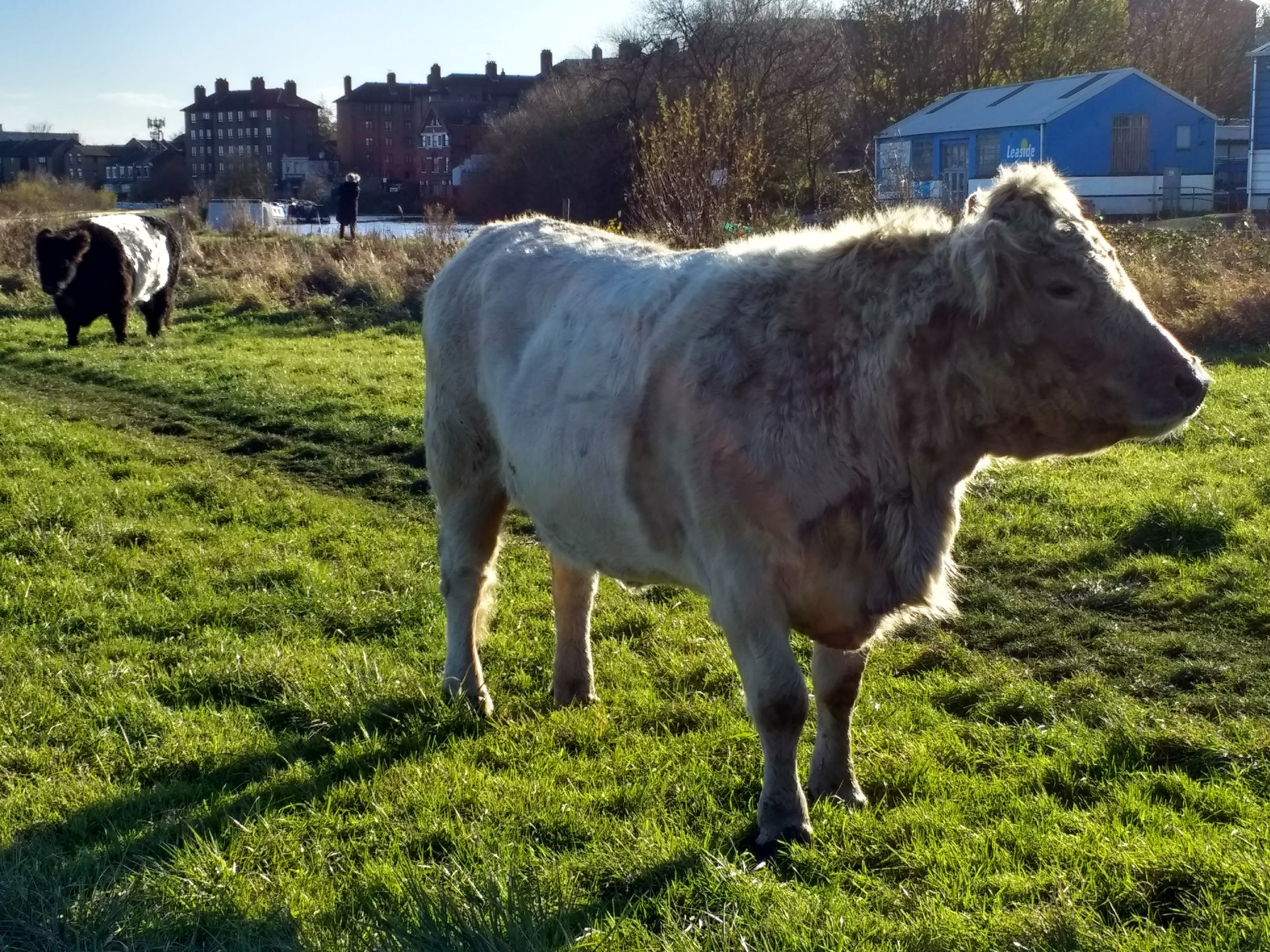 Cattle by the River Lea in Hackney, London
