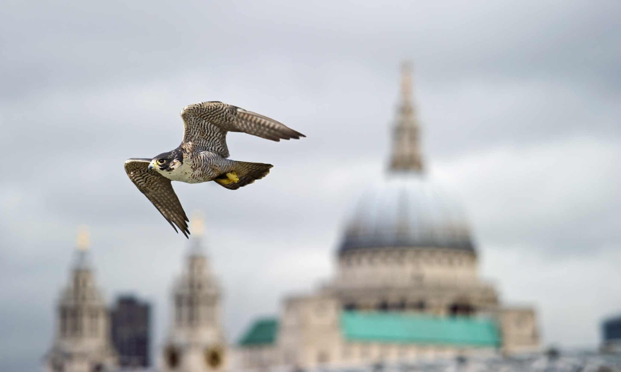 Peregrine falcon scours for London pigeons