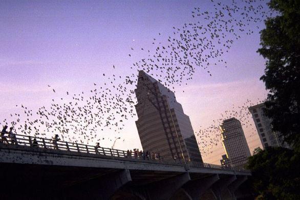 Bats congregate in vast numbers on Congress Bridge in Austin, Texas