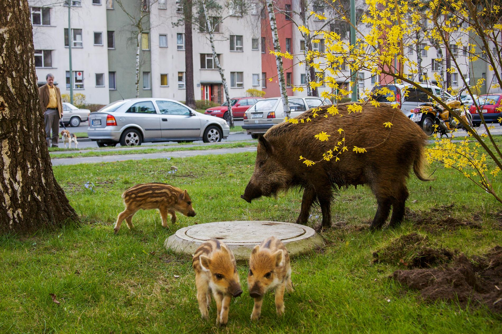 Pigs in the city