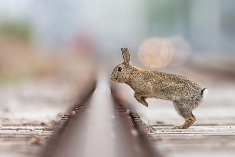 Rabbit leaps a Vienna railway track