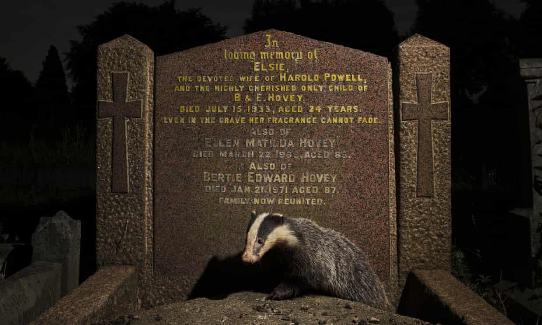 Badger gets busy gravedigging in Bristol, UK