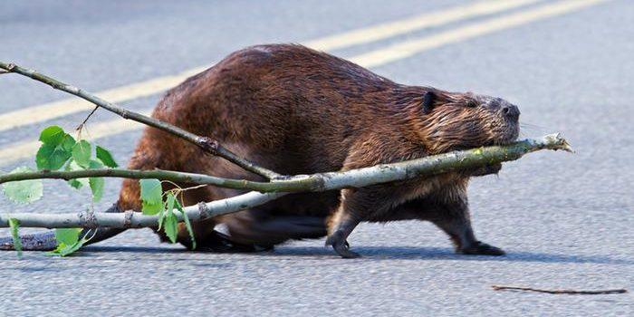 Beavering in Berlin
