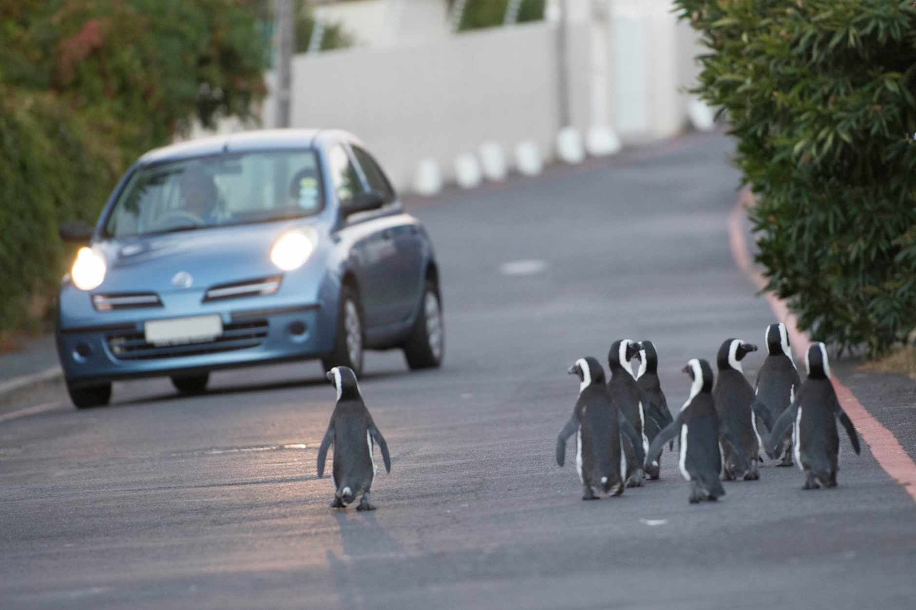 African penguins in Cape Town, South Africa