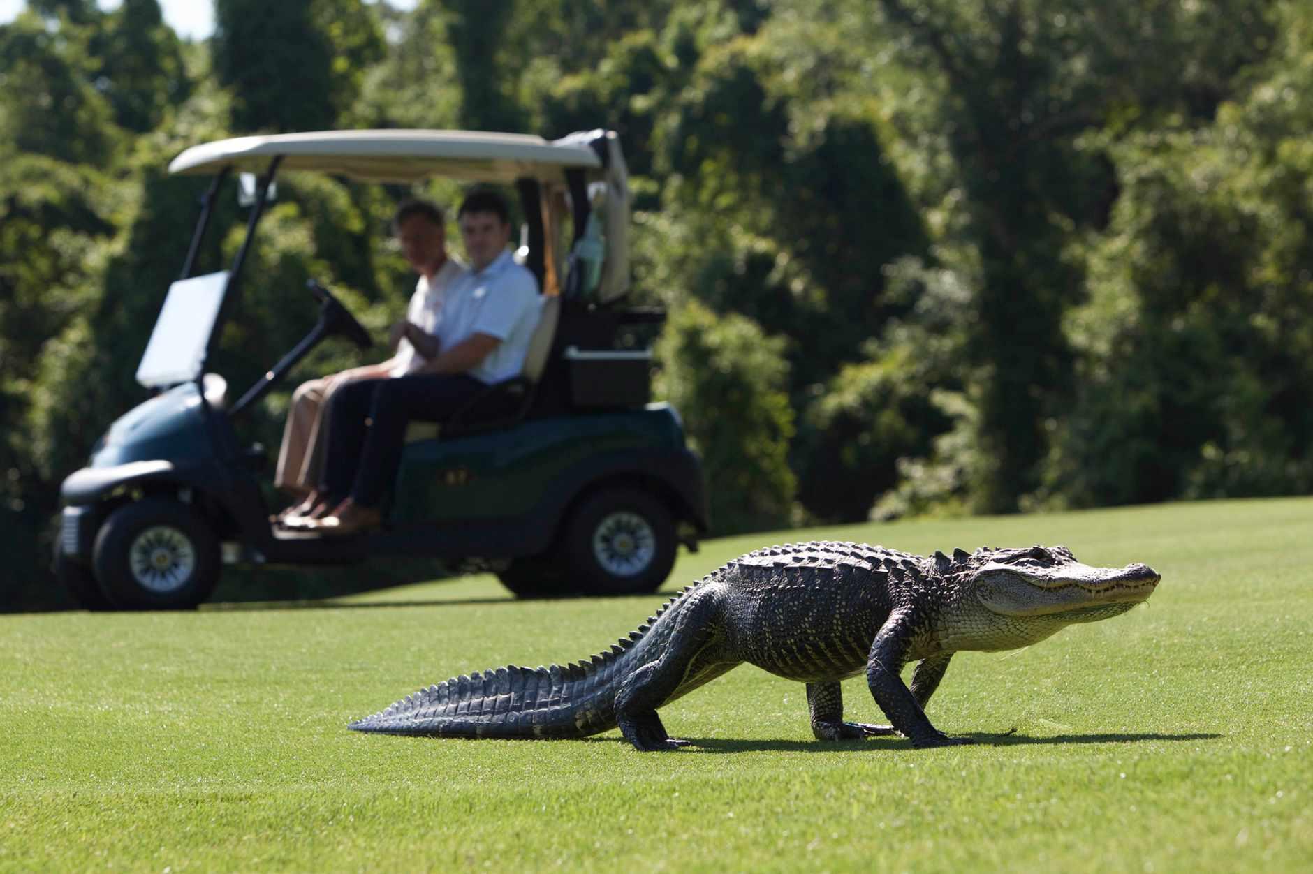 Teeing off: crocodile on golf course on Kiawah Island, US