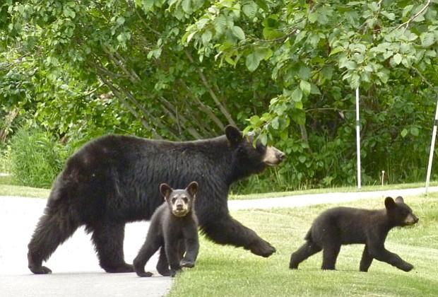 Don't cross Canadian black bears