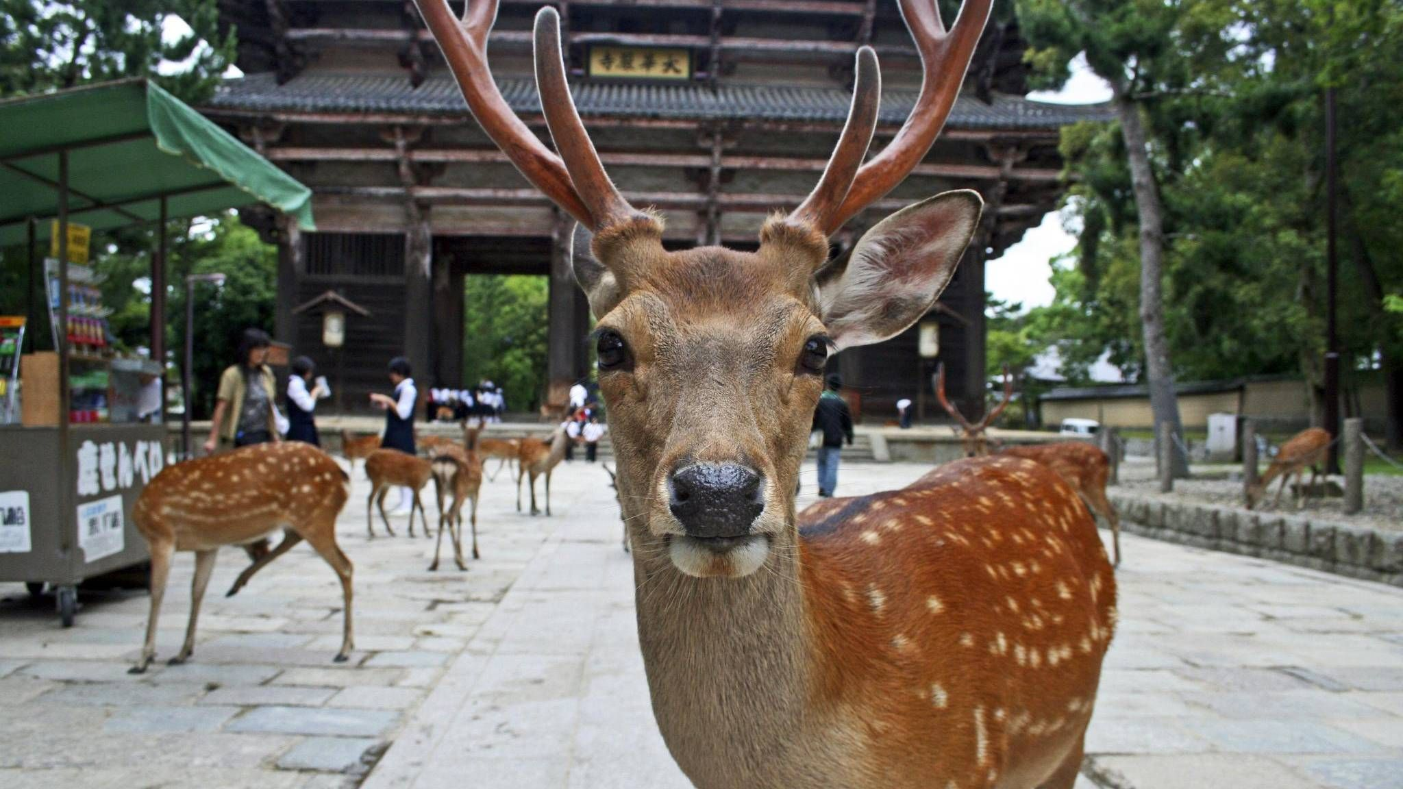 Biscuit time? Deer think so, in Nara Park, Japan