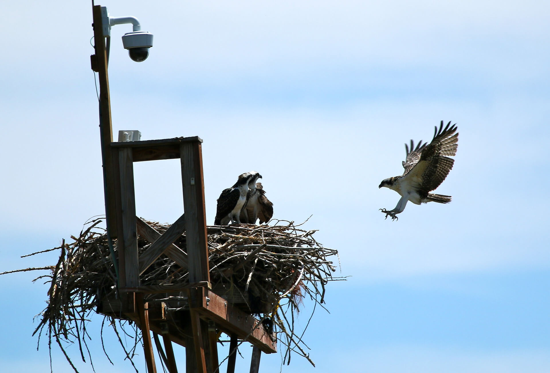 Enlightened urban ospreys nest on lampposts