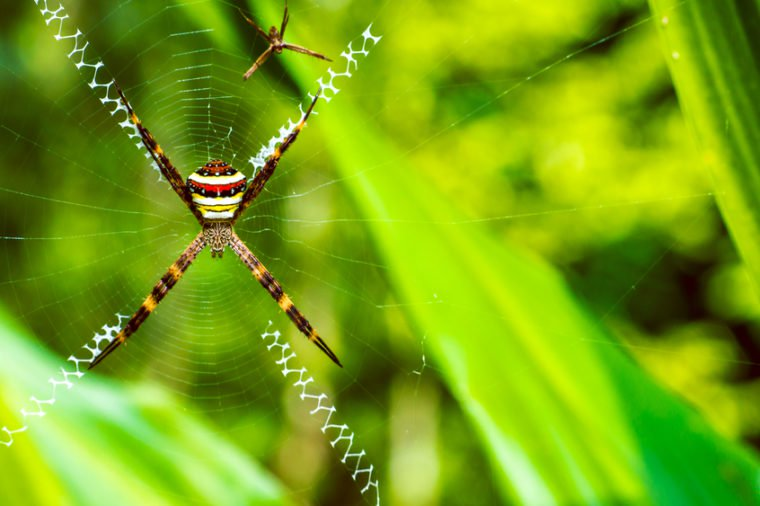 St. Andrews cross spider and handiwork
