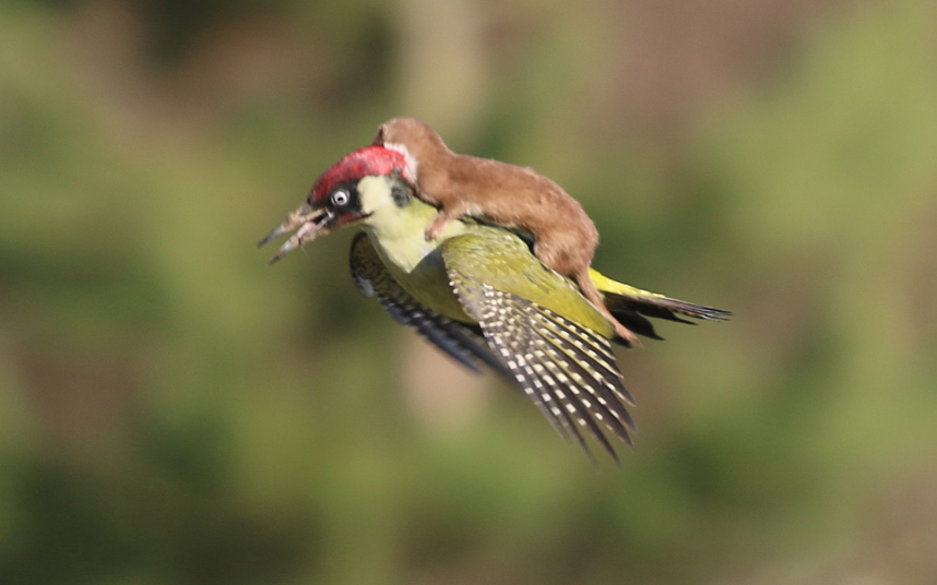 The famous weasel-on-woodpecker hitchhiker