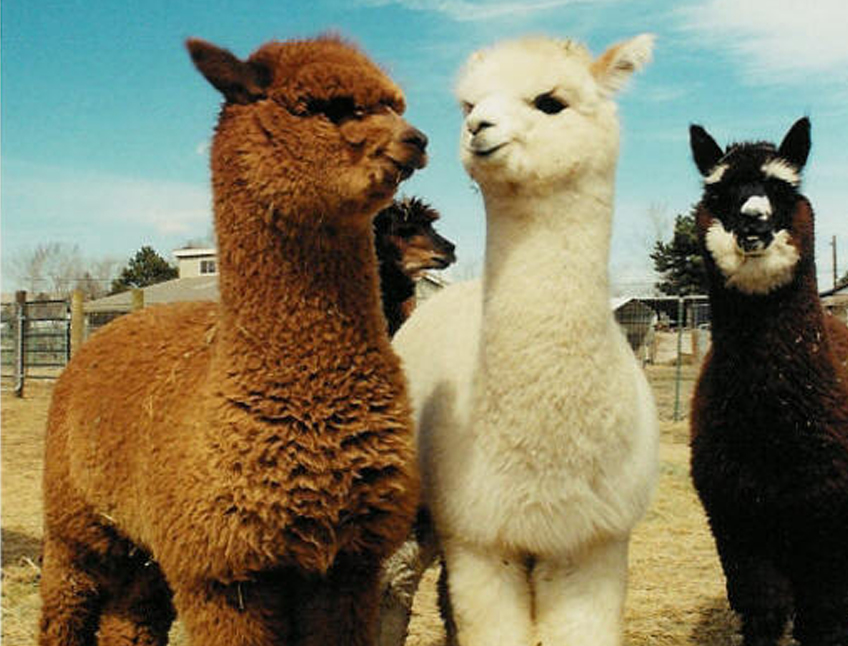 Woolly thinking? Alpacas are in on the act, of course.