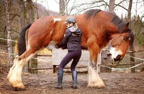Careful with that Shire horse