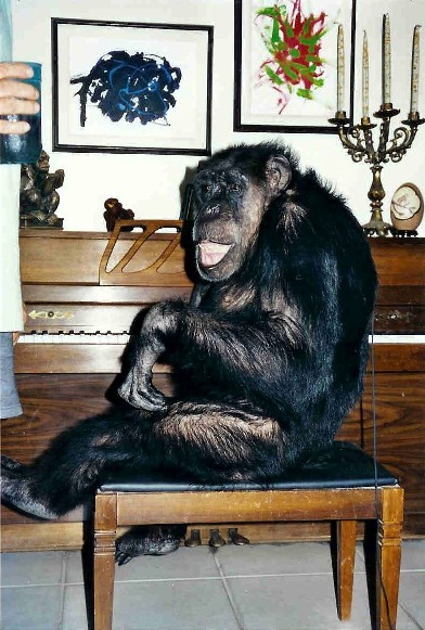 An elderly Cheeta at the piano, with his 'ape-stract' art on the wall