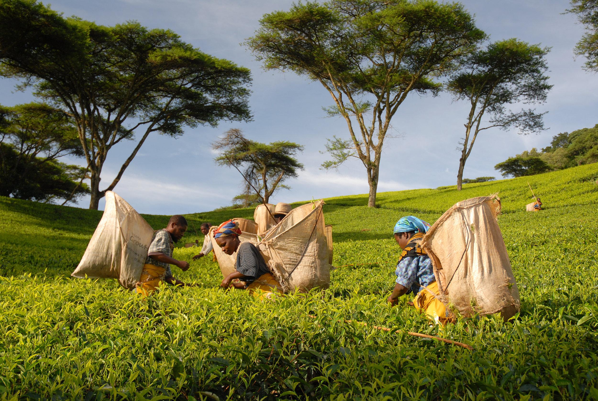 Tea Pickers in Malawi