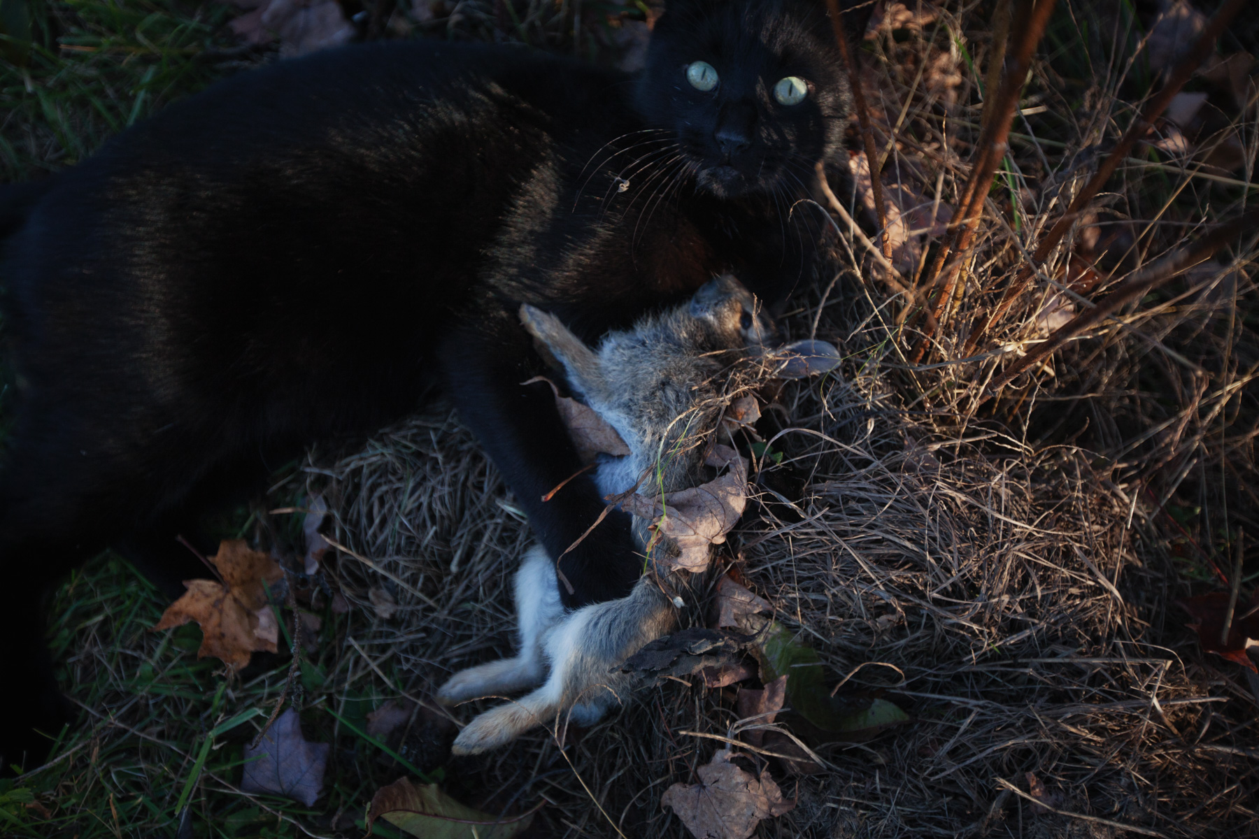 cat-rabbit-dead-1.jpg