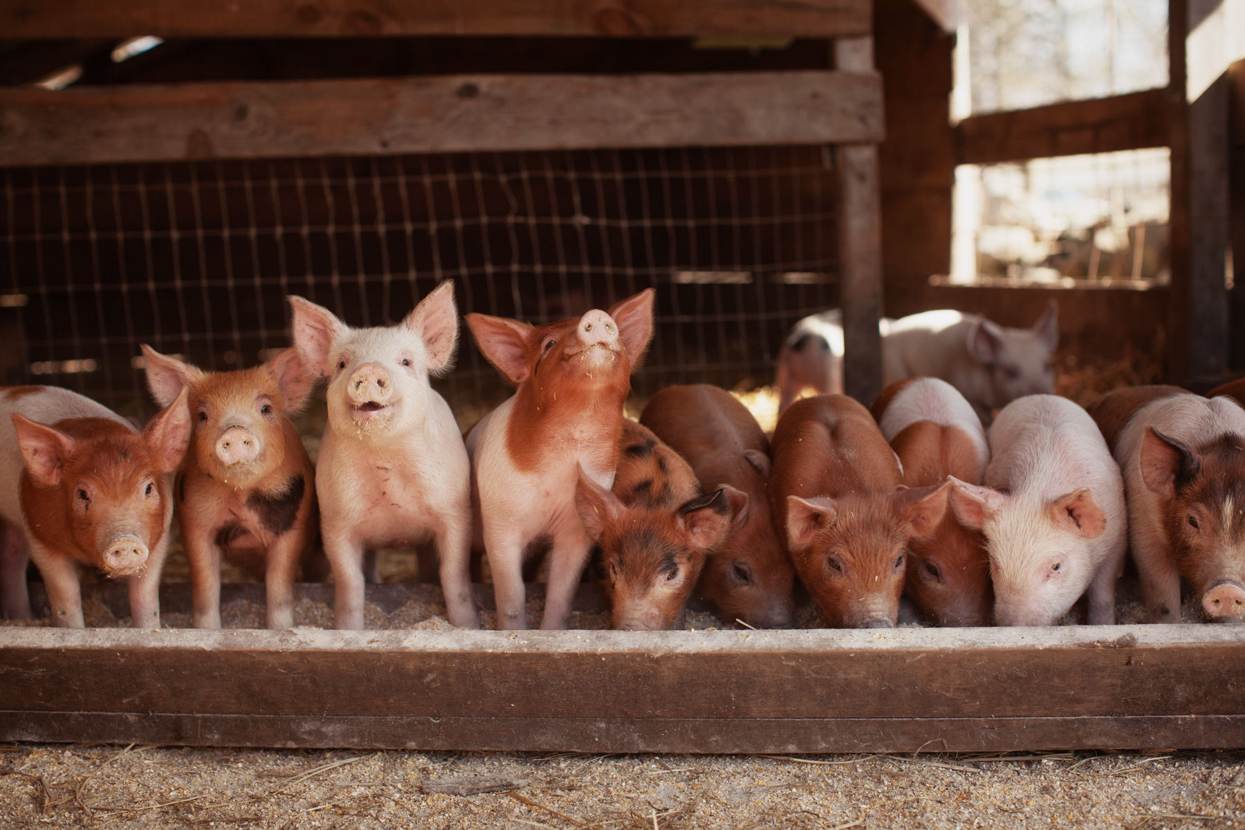 piglets-farm-eating-1.jpg