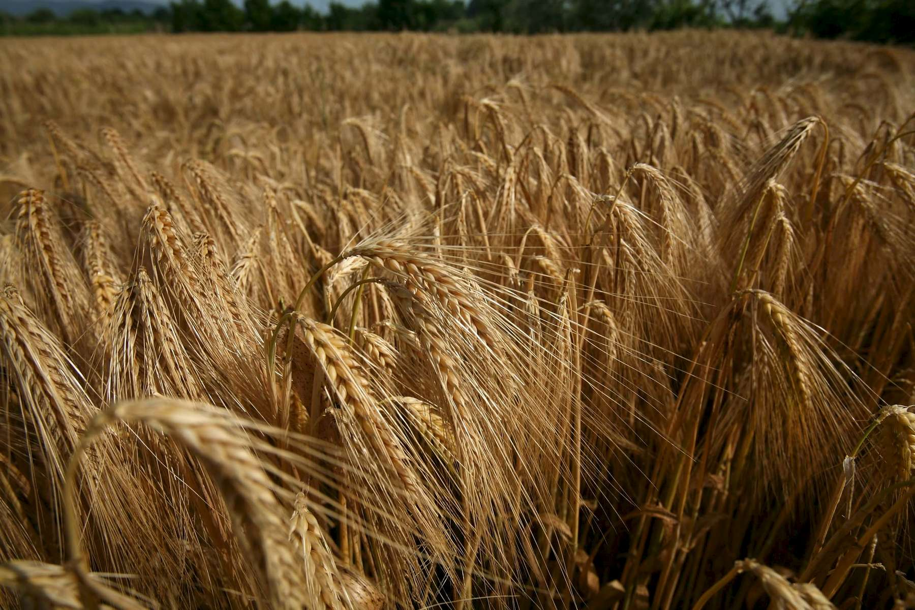 wheat-brown-1.jpg