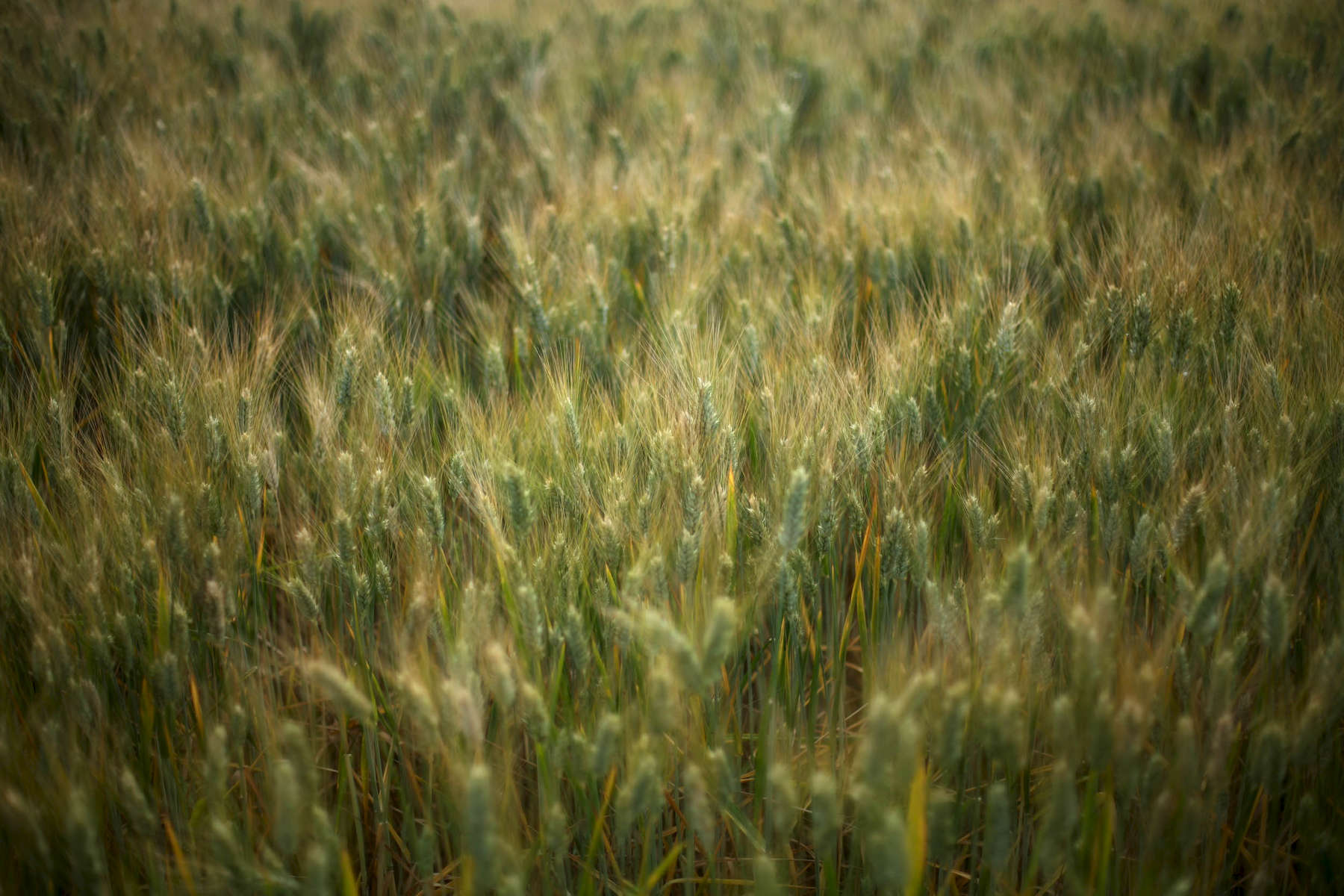 wheat-green-1.jpg