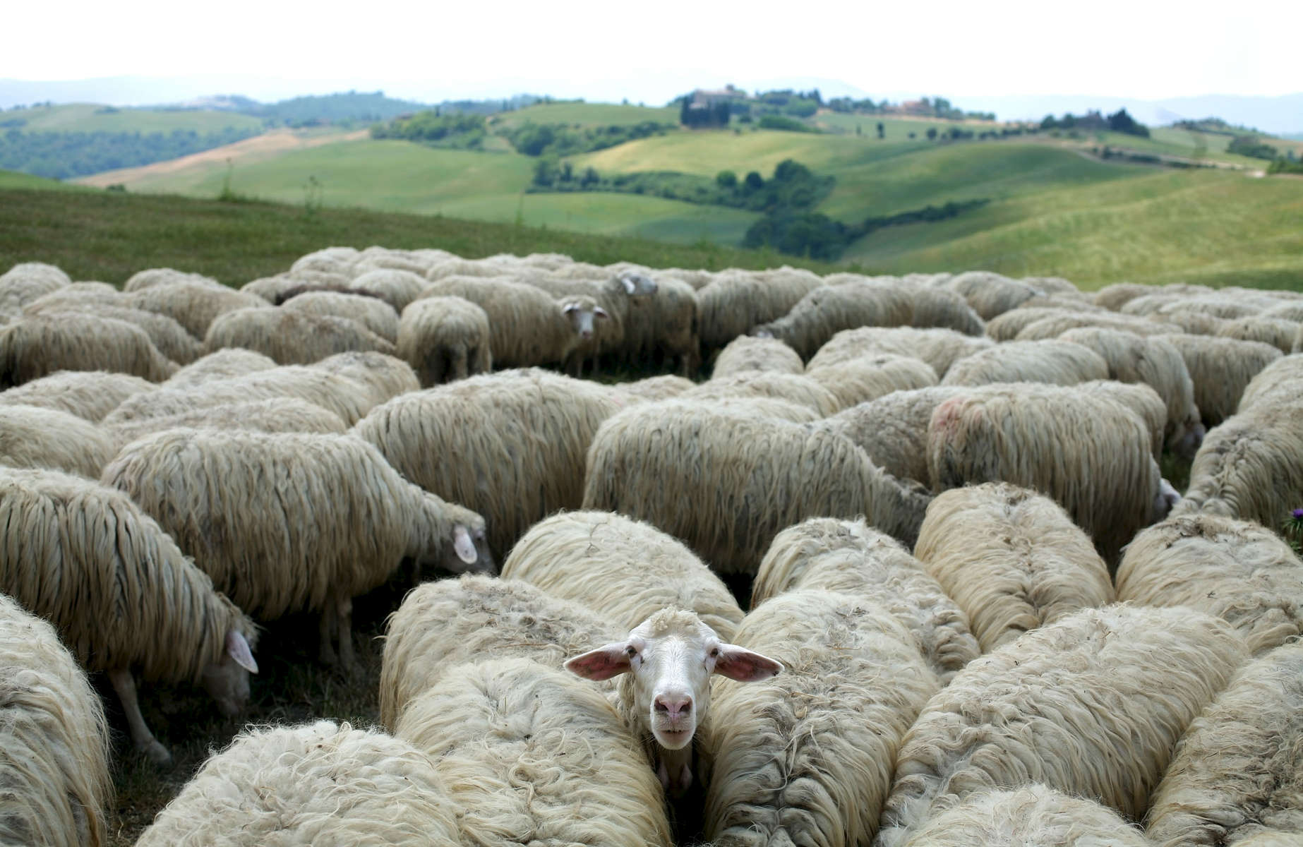 sheep-italy-flock-1.jpg