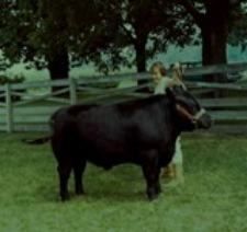 At 10 years old, showing my Angus steer, Sparky!