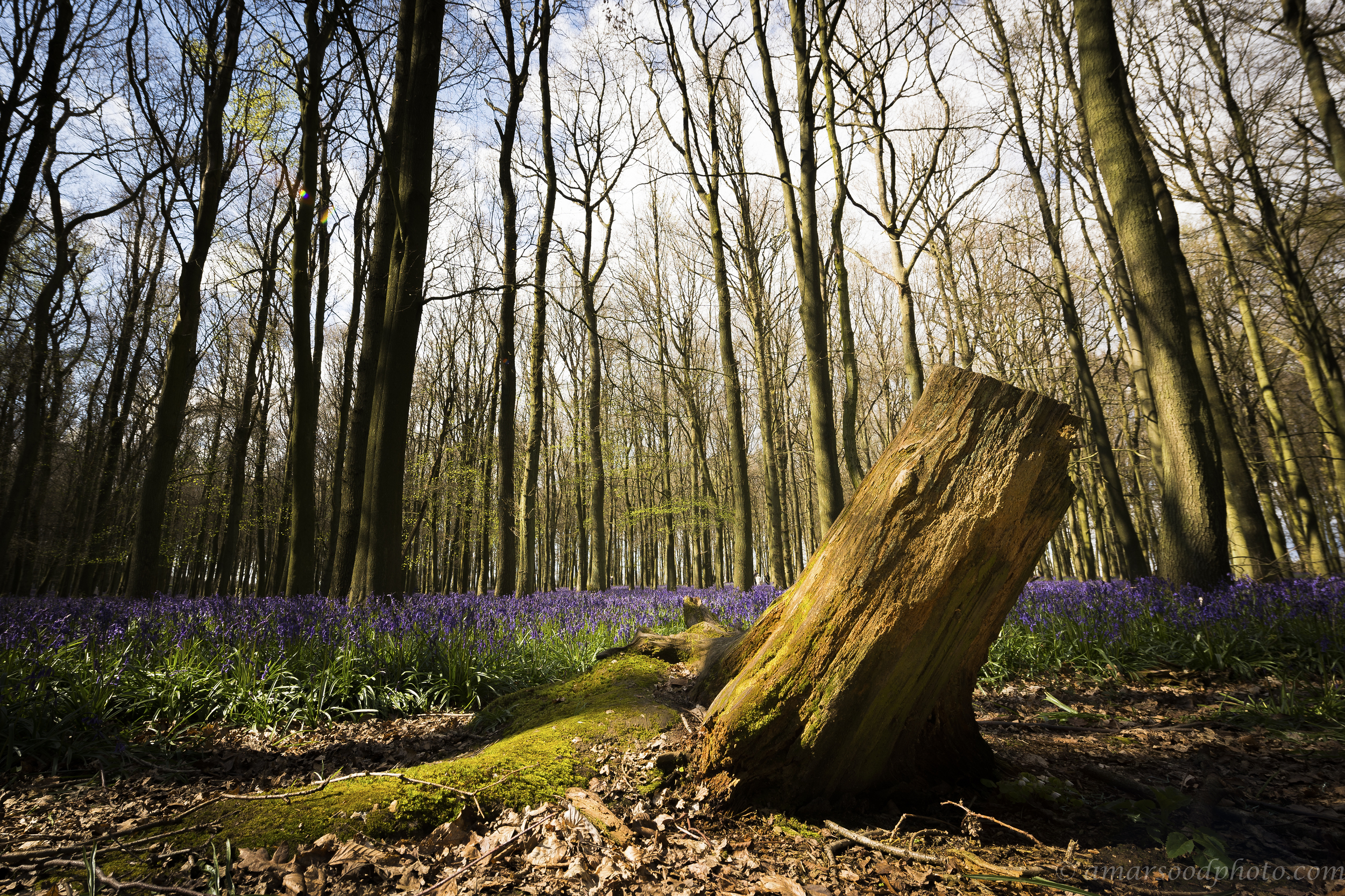 Ashridge Bluebells Tree Stump.jpg