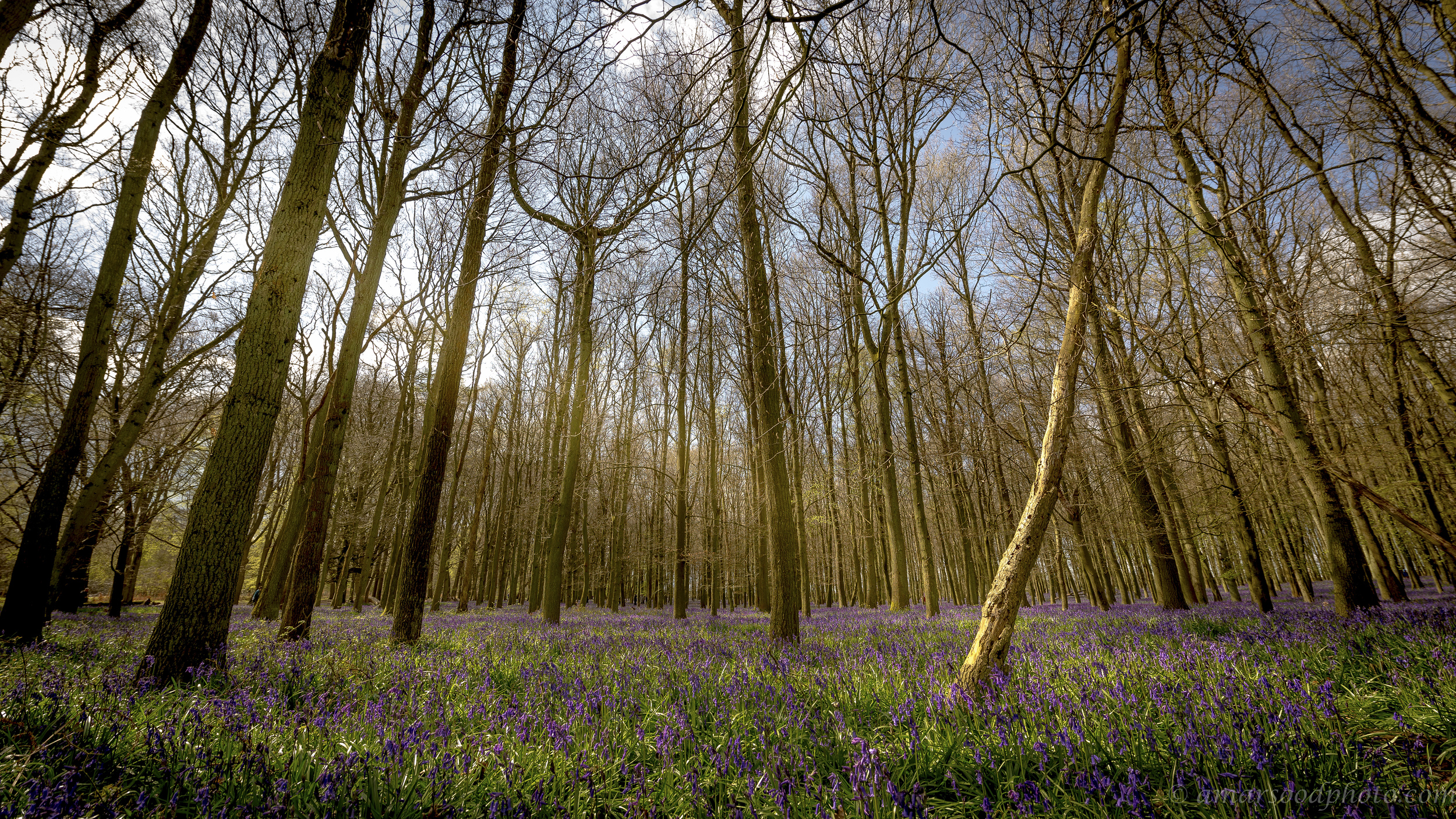 Ashridge Estate Bluebells Smaller File Size.jpg