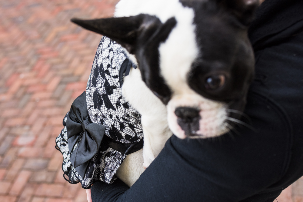 Shy French Bulldog.jpg