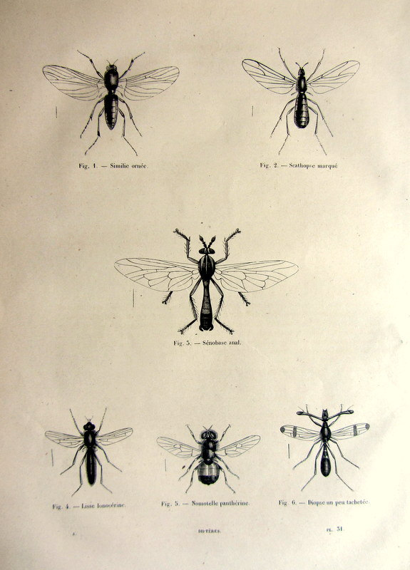 1860 Antique diptera print, old original insects engraving, bees mosquitos flies plate illustration, vintage fly mosquito bee entomology.