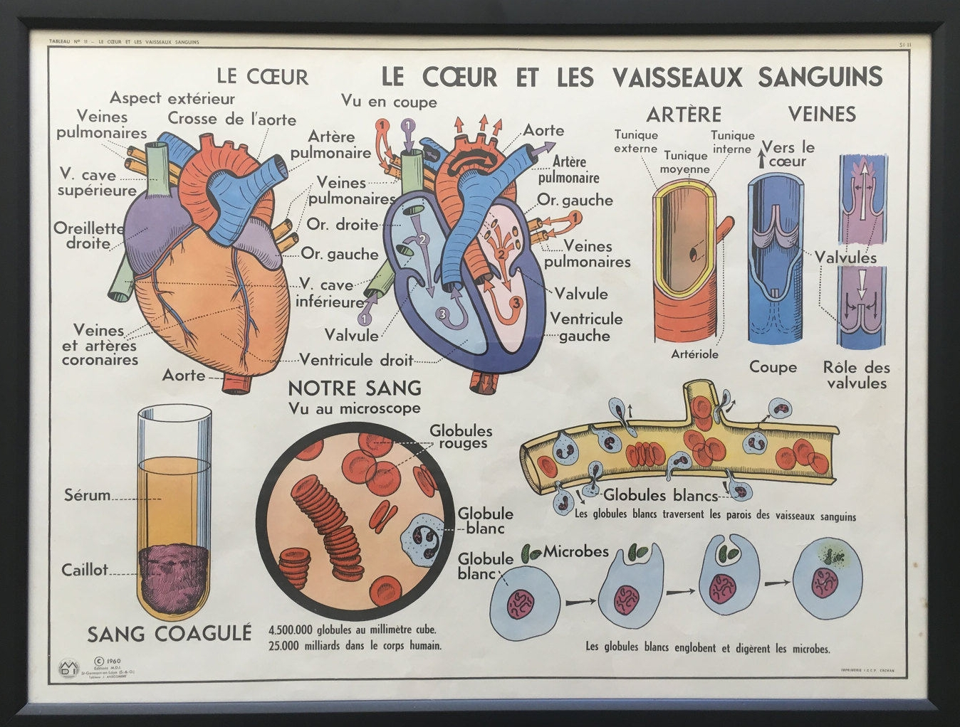 FRAMED Vintage French Medical Anatomy Education Poster- Heart and Blood Vessels